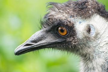 Emu von Pia Van Hemmen