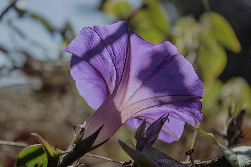 Lathyrus odoratus II van Herbert Seiffert