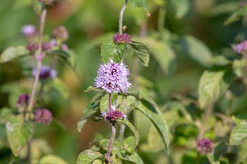 Violette Blume von Anjella Buckens