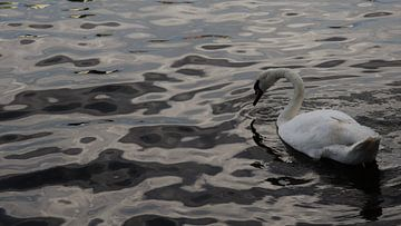 zwaan aan het water van Diederick Luijendijk