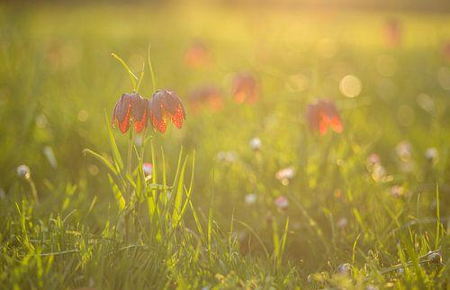 Fritillaria tubiformis at sunset von Tux Photography