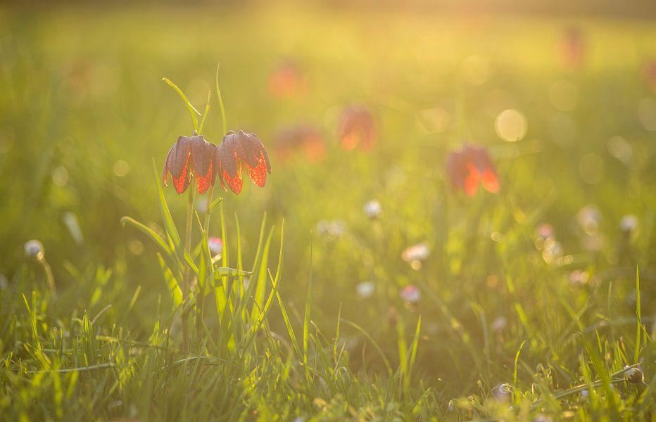 Kievitsbloemen bij zonsondergang