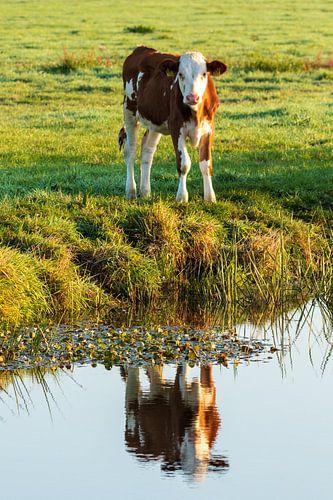 Weerspiegeling van nieuwsgierig kalfje in de polder