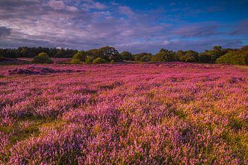 Blühende Heide 5 von Peter Heins