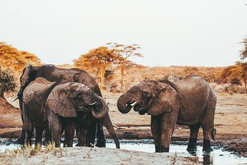 Olifanten bij waterpoel || Botswana, Chobe Nationaal Park