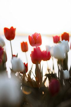 Verträumte weiß-rot-rosa Tulpen bei Sonnenuntergang in Flevoland von Maartje Hensen