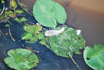 Taubefeder auf Wasserlillie von T. Berrevoet