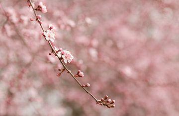 Tak met roze kersenbloesem van Mayra Pama-Luiten