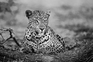 leopard schwarz weiß von Henk Bogaard