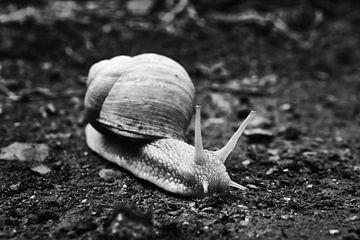 Escargot de Virginie 2 noir-blanc sur Jörg Hausmann