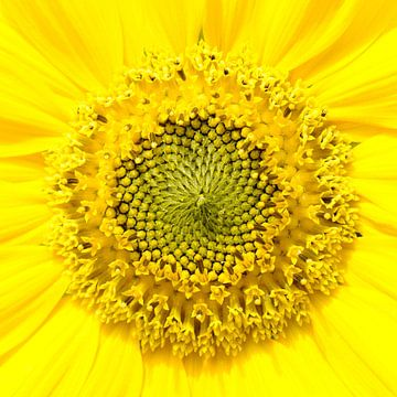 Zonnebloem von Paul Arentsen