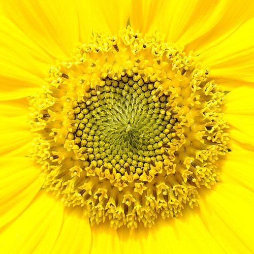 Zonnebloem van Paul Arentsen
