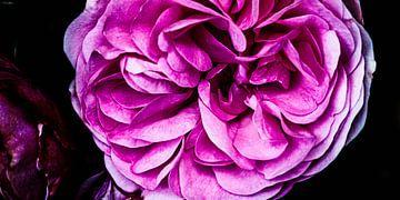 Rosen aus dem Garten von MICHEL WETTSTEIN