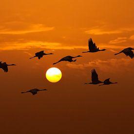 Les grues en vol au coucher du soleil sur Sjoerd van der Wal
