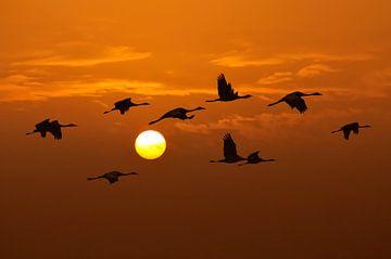 Kraanvogels vliegen in de lucht tijdens de zonsondergang van Sjoerd van der Wal