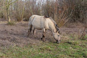 Konik Pferd in der Nähe von Nijmegen von Merijn Loch