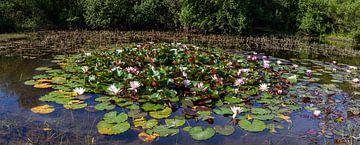 Seerosen im Teich von DuFrank Images