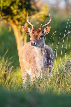 fallow deer sur Pim Leijen
