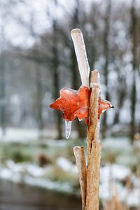 Eikenblad in ijs gevat van