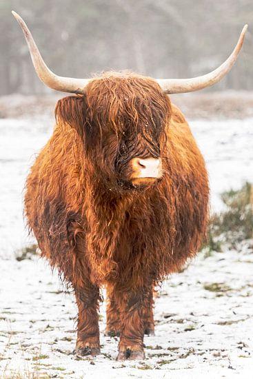 Portret van een Schotse Hooglander in de sneeuw in de winter