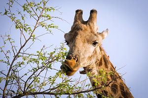 Chewing Giraffe