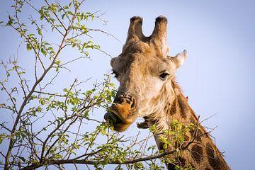 Kauende Giraffe  von Thomas Froemmel
