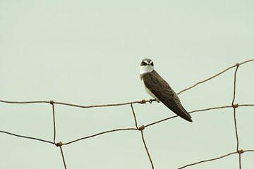 Zwaluw op het hek van