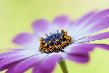 Paarse bloem met licht groene achtergrond van Doris van Meggelen