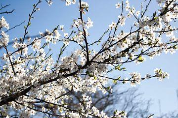 White blossom van Robin Groen