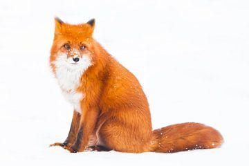 Er sitzt beeindruckend schön und schaut. schöner roter flauschiger Fuchs im Schnee während eines Sch von Michael Semenov