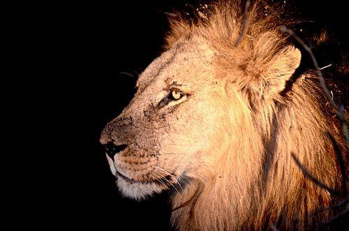 Lion by Night van