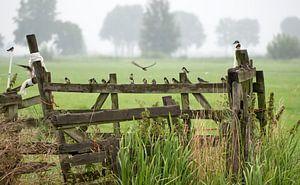 Boerenzwaluwen, Barn Swallows.