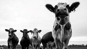 nieuwsgierige koeien zwart/wit van Liv Jongman