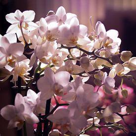 Kleine witte en roze orchidee in een woonkamer van Mike Attinger