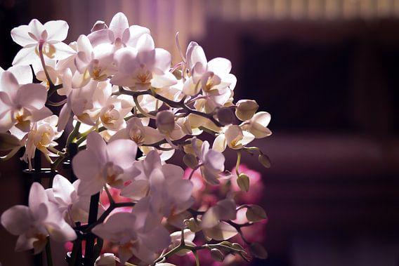 Kleine witte en roze orchidee in een woonkamer