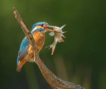 IJsvogel met vis van