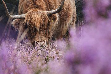 Schotse Hooglander op de heide van Carlijn Oostermeijer