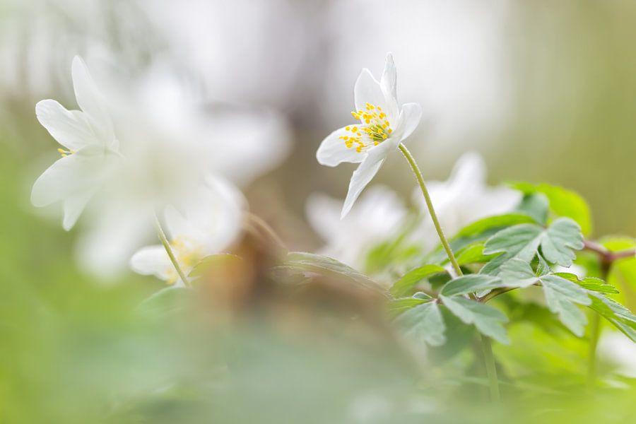 Bosanemoon in het groene bos van Arja Schrijver Fotografie