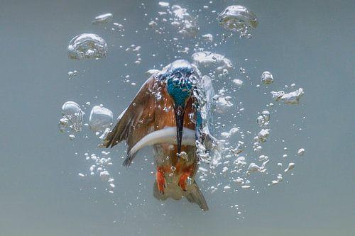 Vissende ijsvogel van