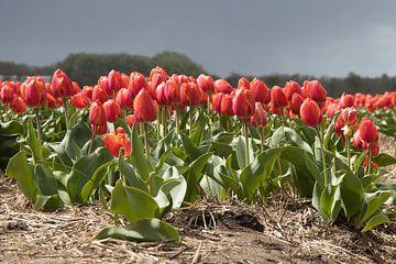 Tulpen von Bert van Wijk