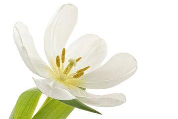 Tulp  sur Tanja van Beuningen