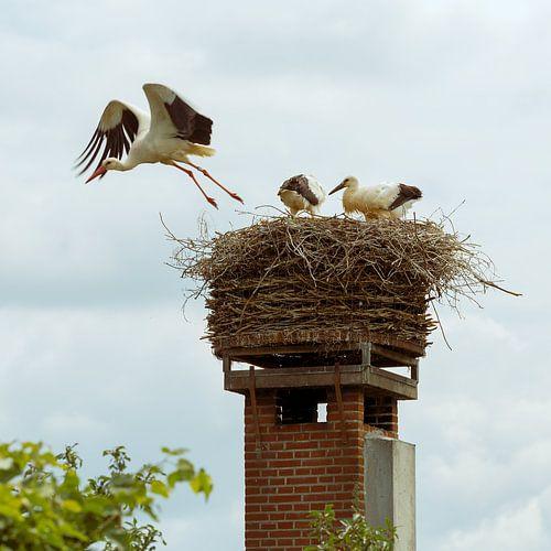 Ooievaar vliegt uit het nest om voedsel te zoeken voor de jongen