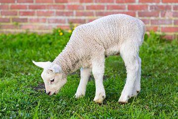 Pasgeboren lam eet gras in lente van