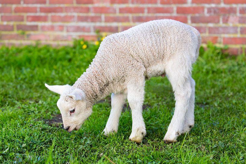 Neugeborenes Lamm isst frisches grünes Gras im Frühjahr von Ben Schonewille