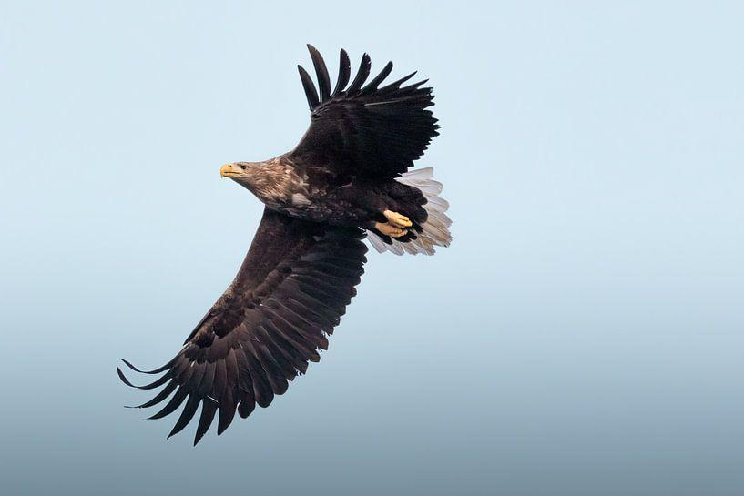 Aigle à queue blanche sur fond bleu | Photographie d'oiseaux Norvège | Tirage photo nature sur Dylan gaat naar buiten