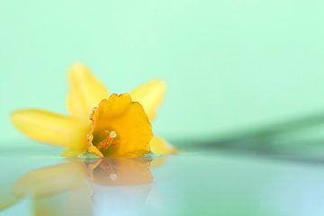 Ein verträumtes Porträt einer gelben Narzisse, die auf einer ruhigen Wasseroberfläche mit grünem Hin von Joeri Mostmans