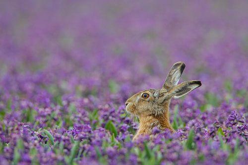 Haas in paars hyacinten veld