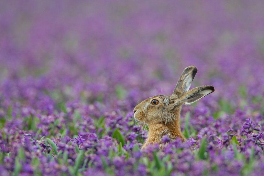 Haas in paars hyacinten veld van Menno van Duijn