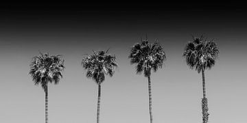 Palmenidylle | Panorama Monochrom von Melanie Viola