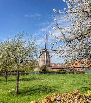 De Torenmolen van Gronsveld tijdens de bloesem